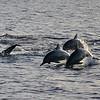 Dolphins, leeward coast