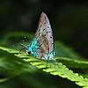 La Soufriere Trail.  Butterfly.
