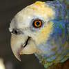 Botanical Gardens. Vincy parrot. St. Vincent and the Grenadines.