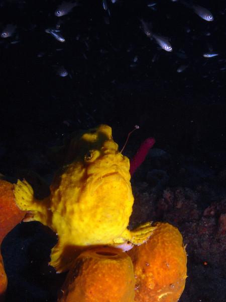 Long Lure Frog Fish, St. Vincent.