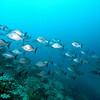 Tobago Cays Marine Park. School of chub.