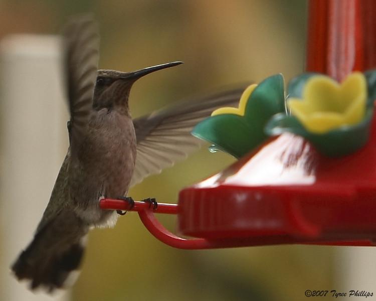 Humming Bird3_0030