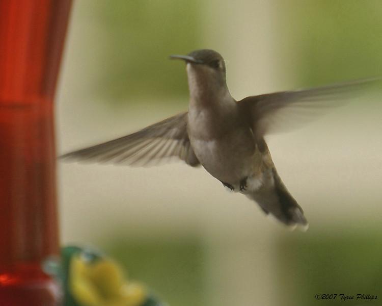 Humming Bird3_0003