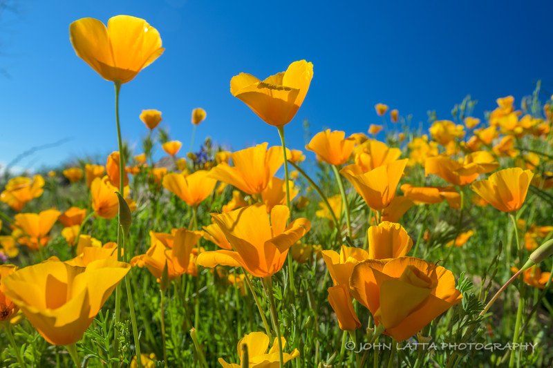 Mexican Gold Poppies