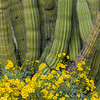 Brittlebush and Organ Pipe Cactus