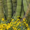 Brittlebush and Organ Pipe Cactus