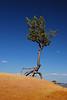 Walking Pine