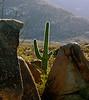 Cactus, Sonoran Desert