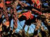 Fruiting Cholla Cactus