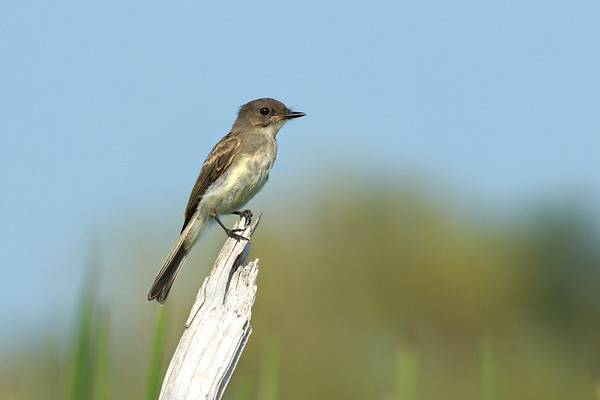 Eastern Phoebe juvenile on snag in marsh • South Sandy Creek, Lakeview WMA • 2013