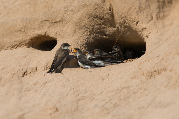 Bank Swallow chicks in sand dune nest cavity beg parent for food • South Sandy Creek, NY, USA • 2015
