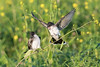 Eastern Kingbirds argue as one comes in for landing • Montezuma NWR, NY • 2017