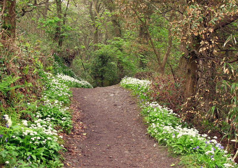 The walk into Fowey lined with wild garlic and a few bluebells.