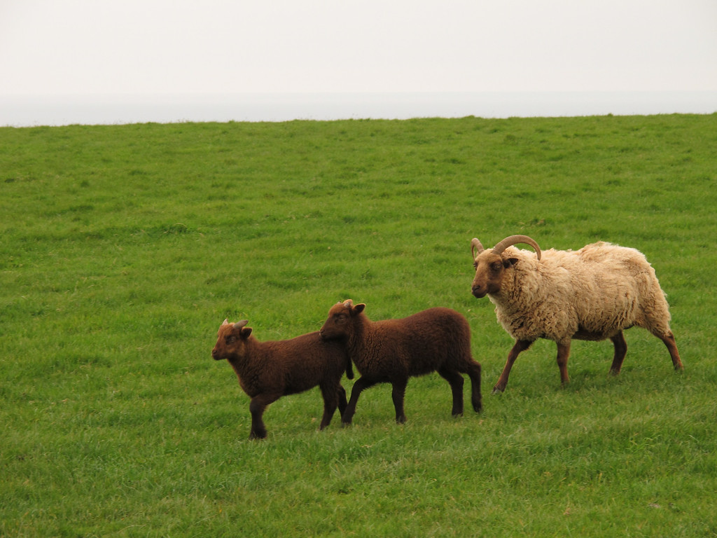Soay ewe and two ram lambs at Crafthole. A rare breed from the St. Kilda Islands in the North Atlantic off the coast of Scotland they are self shearing.