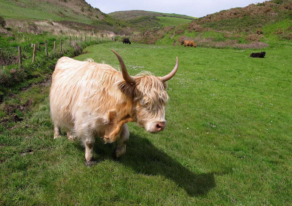 A friendly Highland cow looking a little out of place in this part of England and on such a warm sunny day!