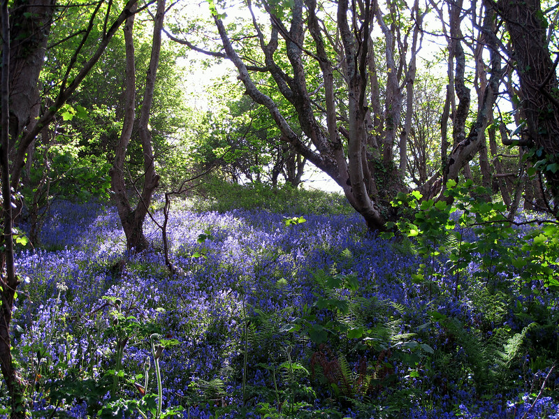 Bluebells cover the dappled ground under the trees by the path.