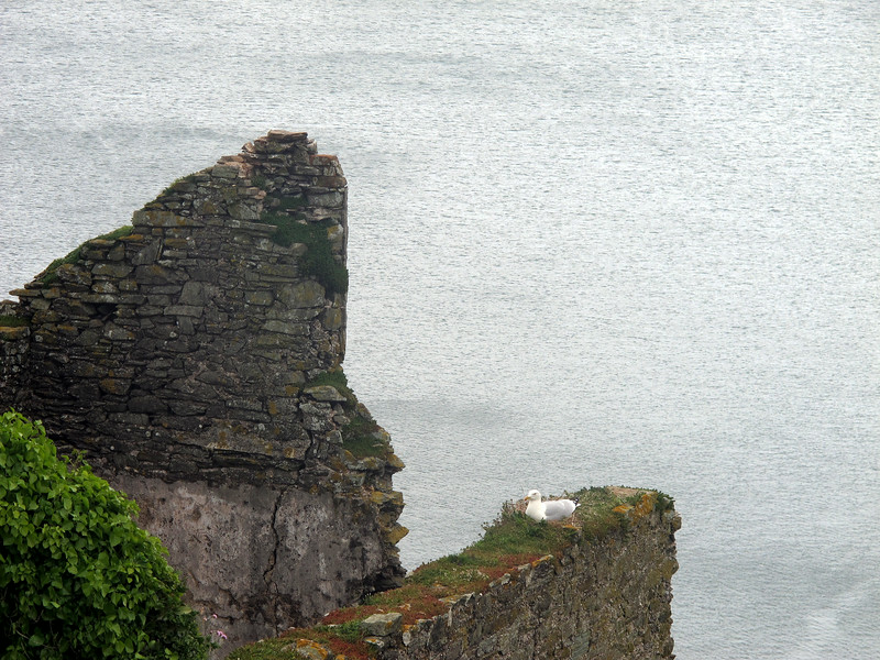 A seagull nesting on an old wall at the lost village of Hallsands.<br /> When the breakwater at Plymouth was built many thousands of tons of shingle was removed from offshore here which had a disastrous effect on the village which was washed away in 1917.