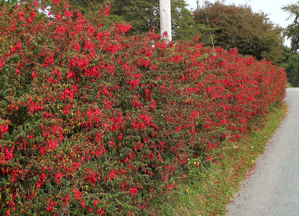 A few Fuschias thrive in the mild Devon climate.