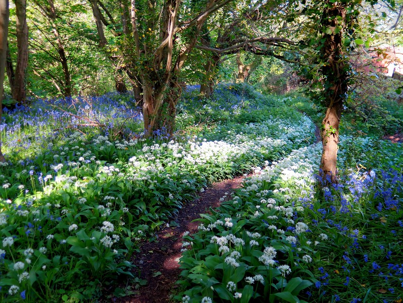 Wild Garlic and Bluebells grace the path here.