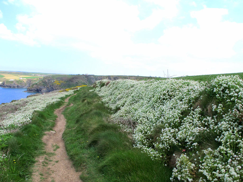 Wild Alyssum covering walls and cliff tops all along these coasts, together with the yellow flowers on the Western Gorse, provide a wonderful sight and beautiful aromas.