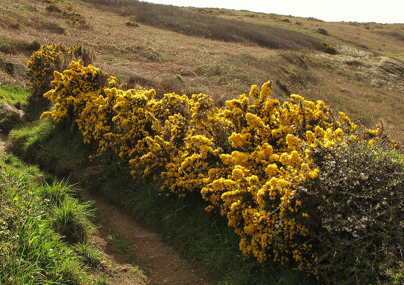 The Gorse flowers were particularly good this year, perhaps something to do with the long cold winter.