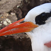 Tropicbird monitoring, Saba (February 2013)