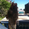 Caught lionfish