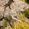 Green iguana (Iguana iguana) on rock
