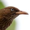 Pearly-eyed thrasher (Margarops fuscatus)