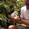 Audubon's shearwater (Puffinus lherminieri)