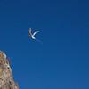 Red-billed tropicbird (Phaethon aethereus), flagship species of Saba