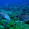 Yellowfin grouper (Mycteroperca venenosa)