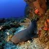 Nurse Shark (Ginglymostoma cirratum)<br /> Photo credit - Hans Leijnse: SHAPE/DCNA