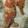 Longsnout seahorse (Hippocampus reidi) in Saban waters