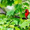 48-Red Cardinal