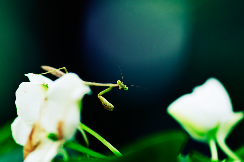76-mantis