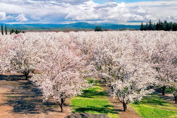 Almond Blossoms, Durham, CA