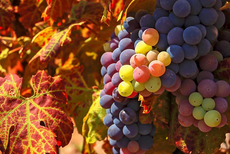 Old Vine Zinfandel Grapes, Doe Mill Vineyards, Chico, CA