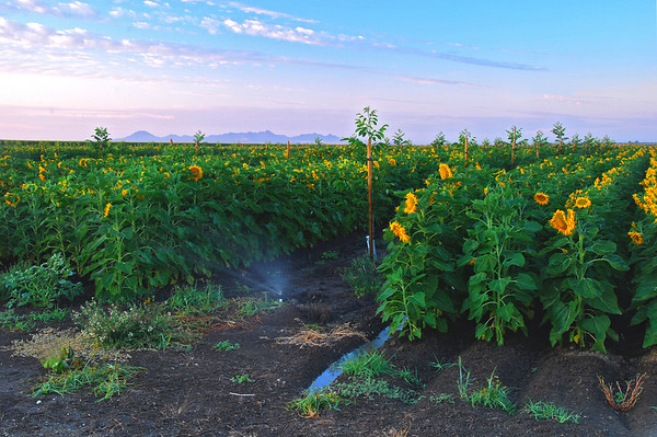 Sunflowers and walnuts, Glenn County, sunrise