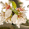 Almond Blossom Cluster with Droplets. Maxwell, CA