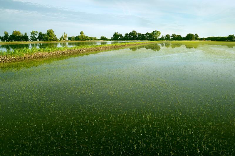 Rice Fields in Spring, Glenn County, CA