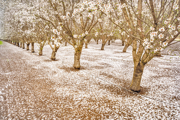 Carpet of Blossoms, M&T Ranch, Chico, CA