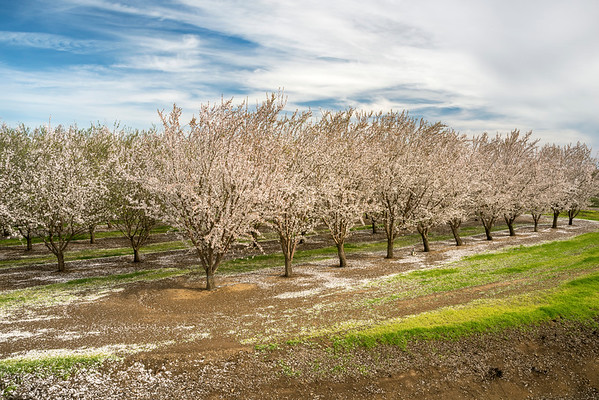 February Blossoms, M&T Ranch, Chico, CA