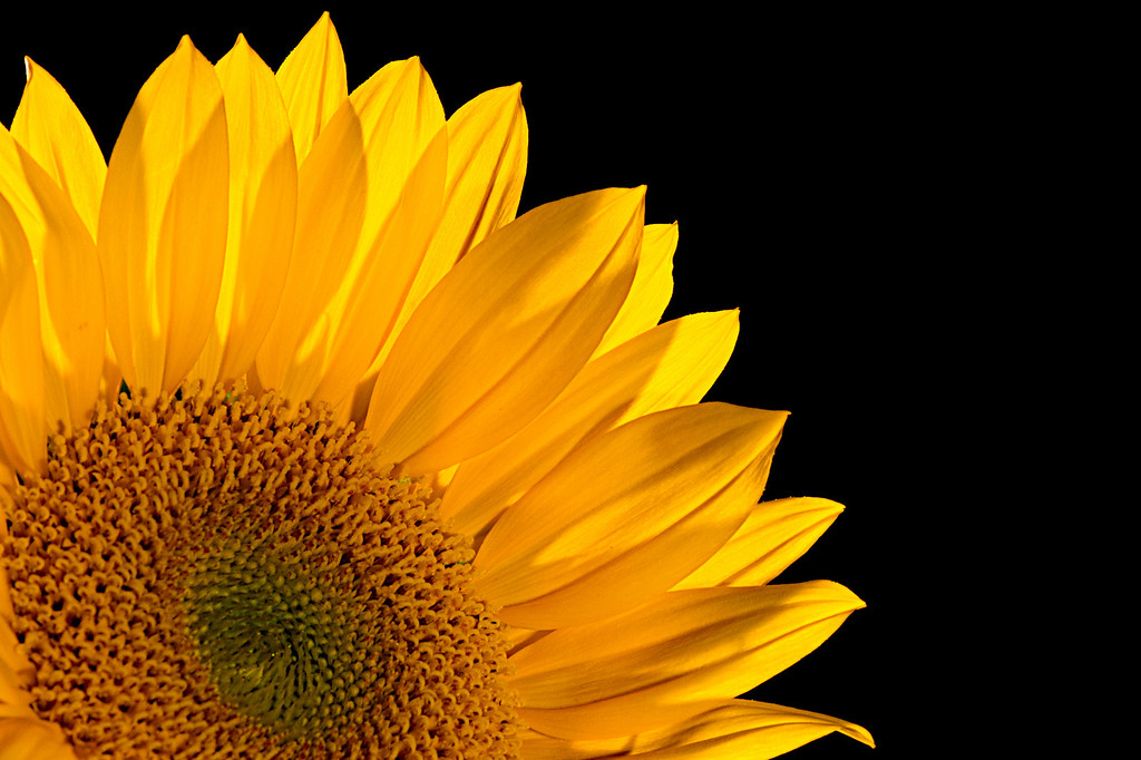 Sunflower<br /> By Robert Busch<br /> <br /> Note: The image is cross lit with 2 500W/S strobes on a jet black seamless background.