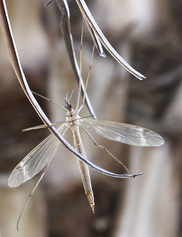 The Mosquito<br /> By Tyree Phillips<br /> <br /> Shot with a 100mm macro lens.