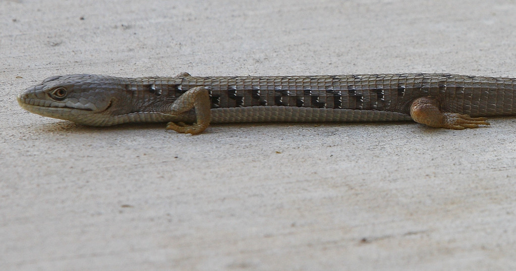 Mr. Lizard<br /> by Tyree Phillips<br /> <br /> This is Mr. Lizard, one of the critters that hangs out in my backyard.