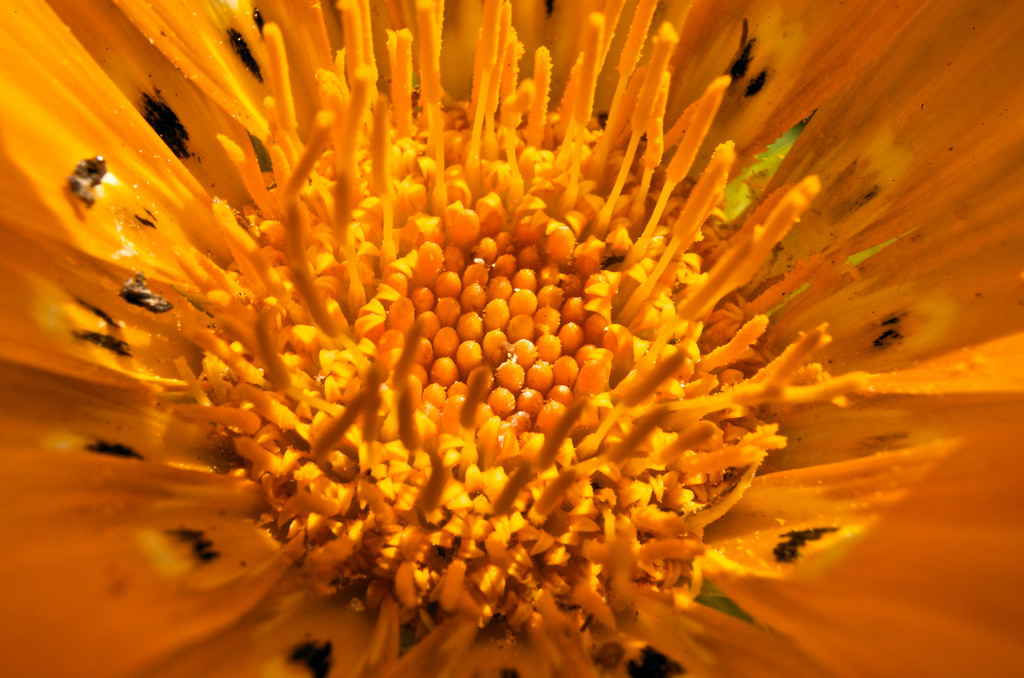 Ganzia<br /> by Marc Roth<br /> <br /> Shot in full sun with a 60 mm micro lens and<br /> 2 extension tubes.
