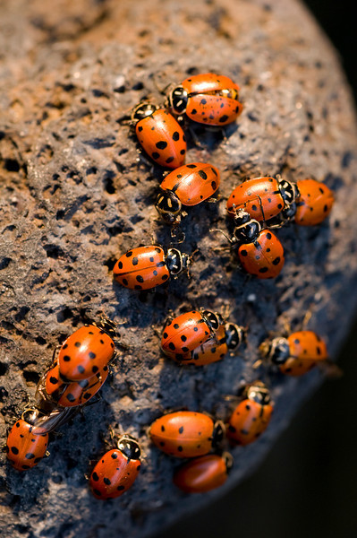 Large Lunar Ladybugs<br /> by Michael Weitzman<br /> <br /> Shot in backyard with directed spotlight