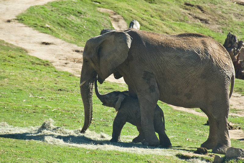 New Beginnings<br /> Baby elephant with its mama at the Wild Animal Park<br /> by Sam Graen