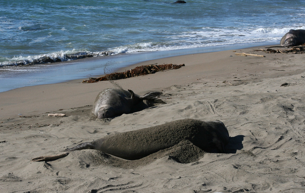 Elephant Seal<br /> By Linda Rood<br /> <br /> For an Elephant Seal, this may be as good as it gets! Warm sun, soft sand to flip on your back....<br /> Piedras Blancas, CA